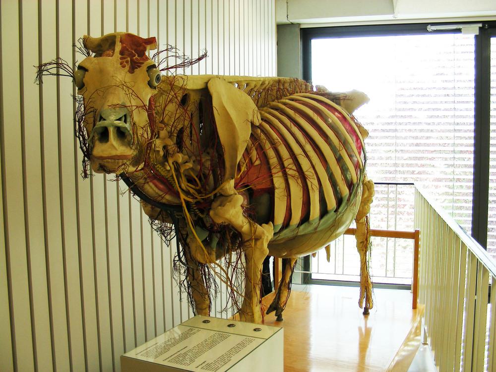 Großartig Kuh Anatomie Modell Fotos - Menschliche Anatomie Bilder ...