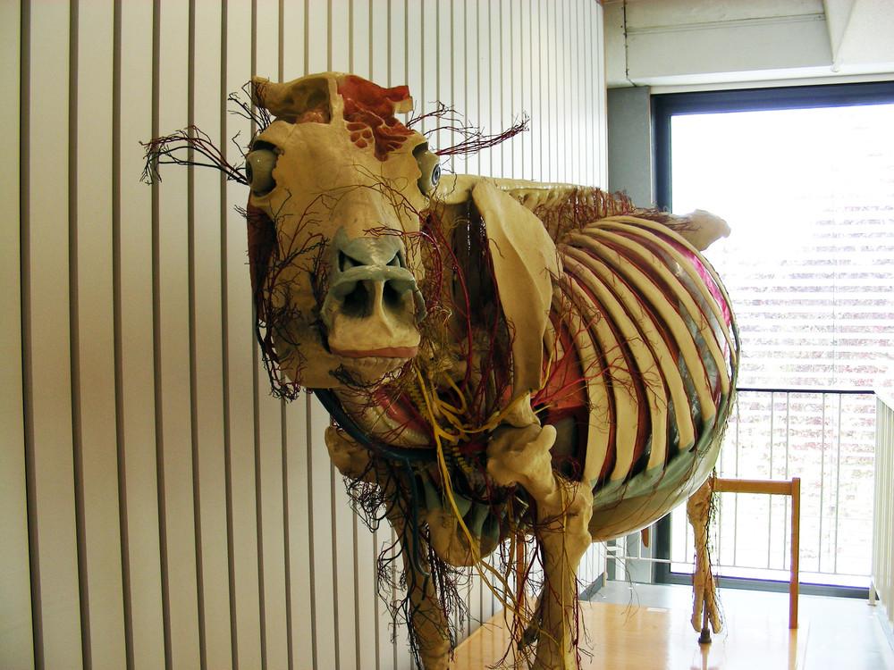 Modell einer Kuh in Lebensgröße · Universitätssammlungen in Deutschland