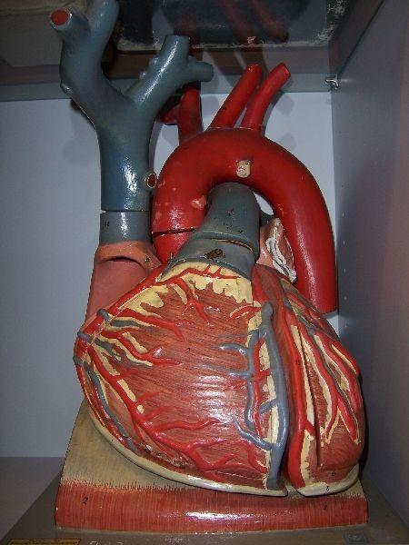 Modell eines menschlichen Herzens · Universitätssammlungen in ...