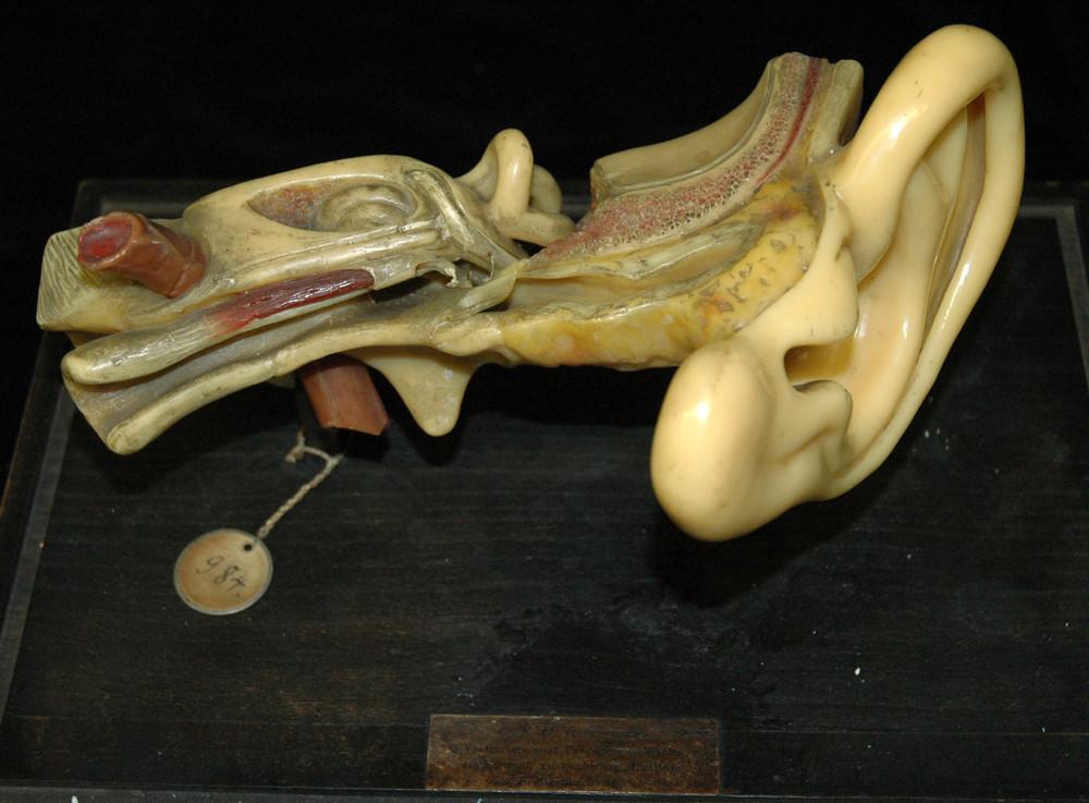 Modell des menschlichen Ohres [Heinemann] · Universitätssammlungen ...
