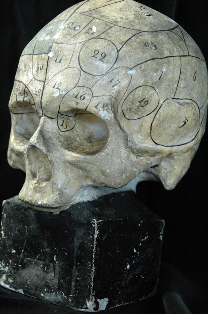 Modell des menschlichen Schädels nach Gall und Spurzheim ...