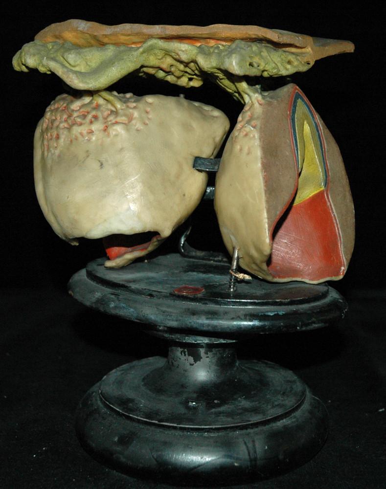 Modellreihe zur Entwicklung der menschlichen Zähne [Ziegler 10 ...