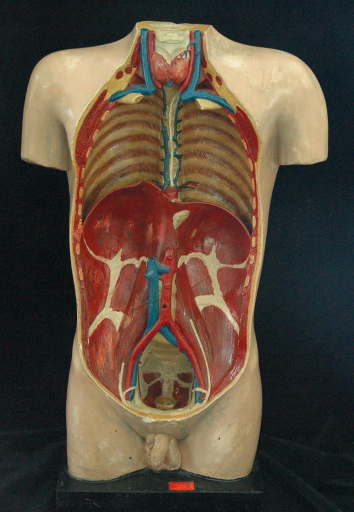 Modell des menschlichen Situs [Steger] · Universitätssammlungen in ...