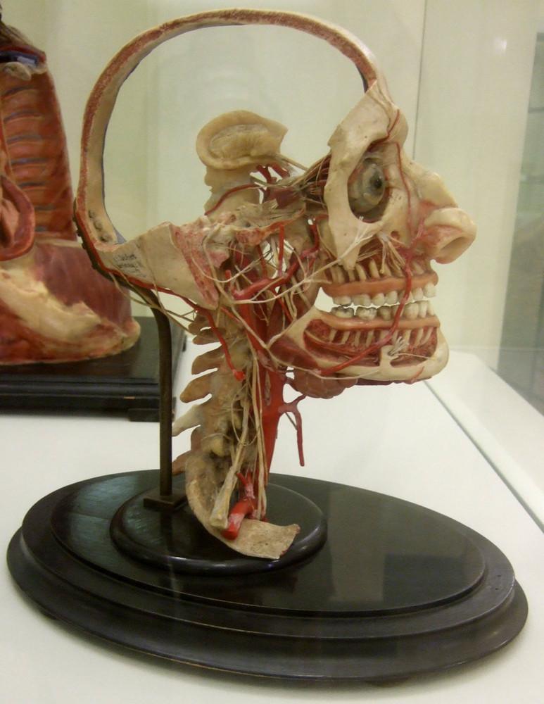 Modell von Gefäßen und Nerven des Kopfes und Halses ...