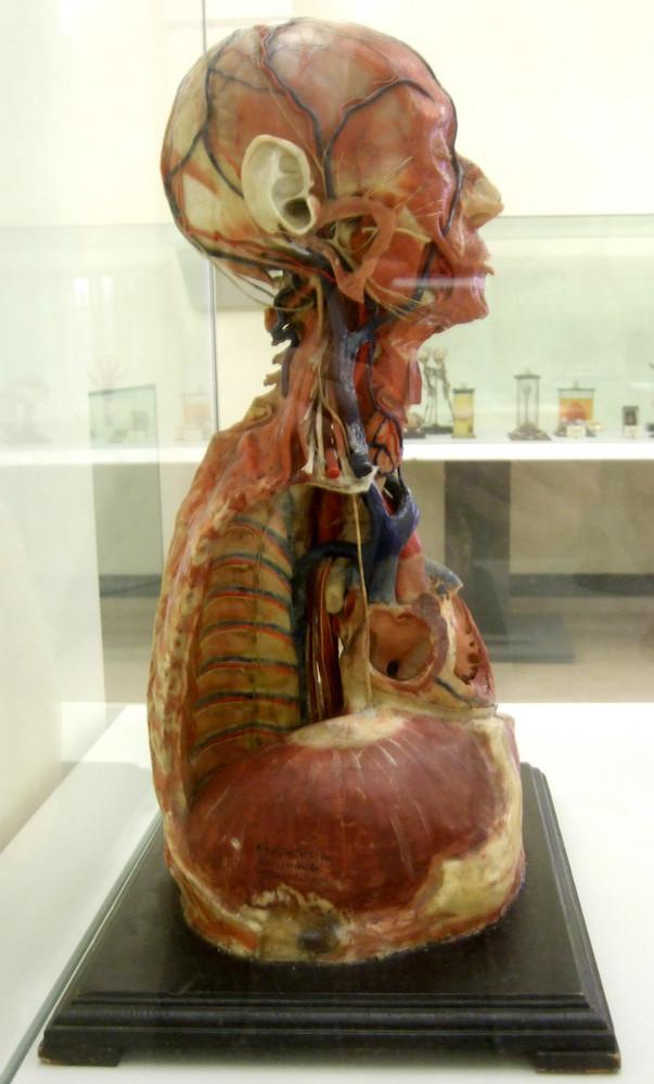 Modell von Gefäßen und Nerven des Kopfes, Halses und Thorax ...
