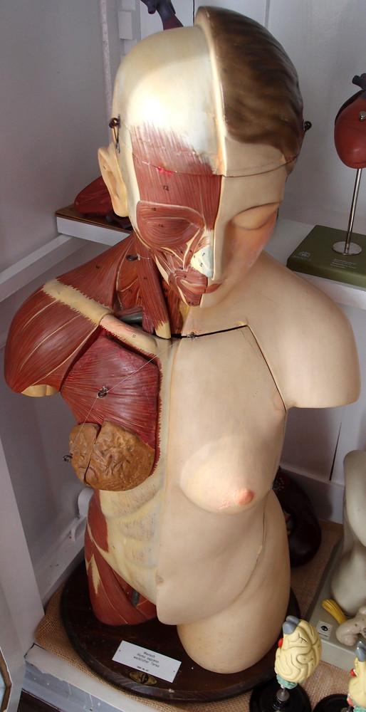 Modell vom menschlichen Torso [Louis M. Meusel ...